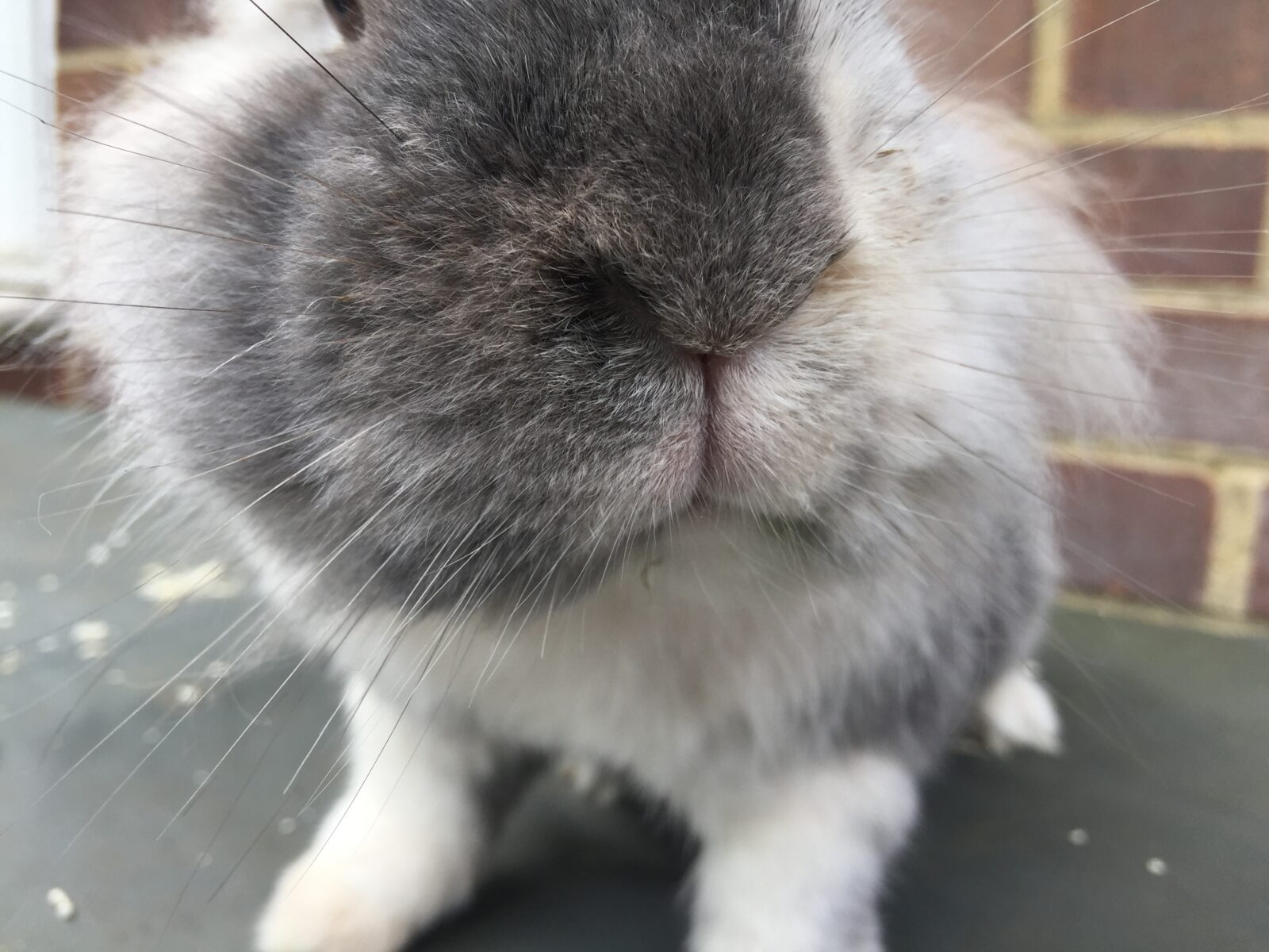 How To Give Your Rabbit a Health Check Image shows a rabbits nose that is clean and healthy looking