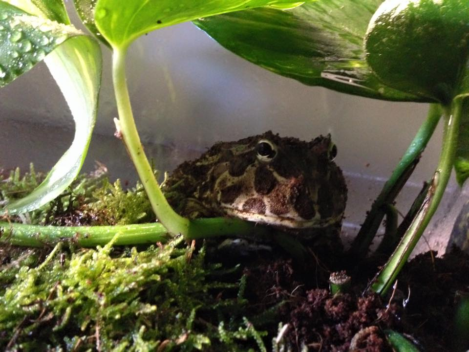 meet-gremlin-the-pacman-frog