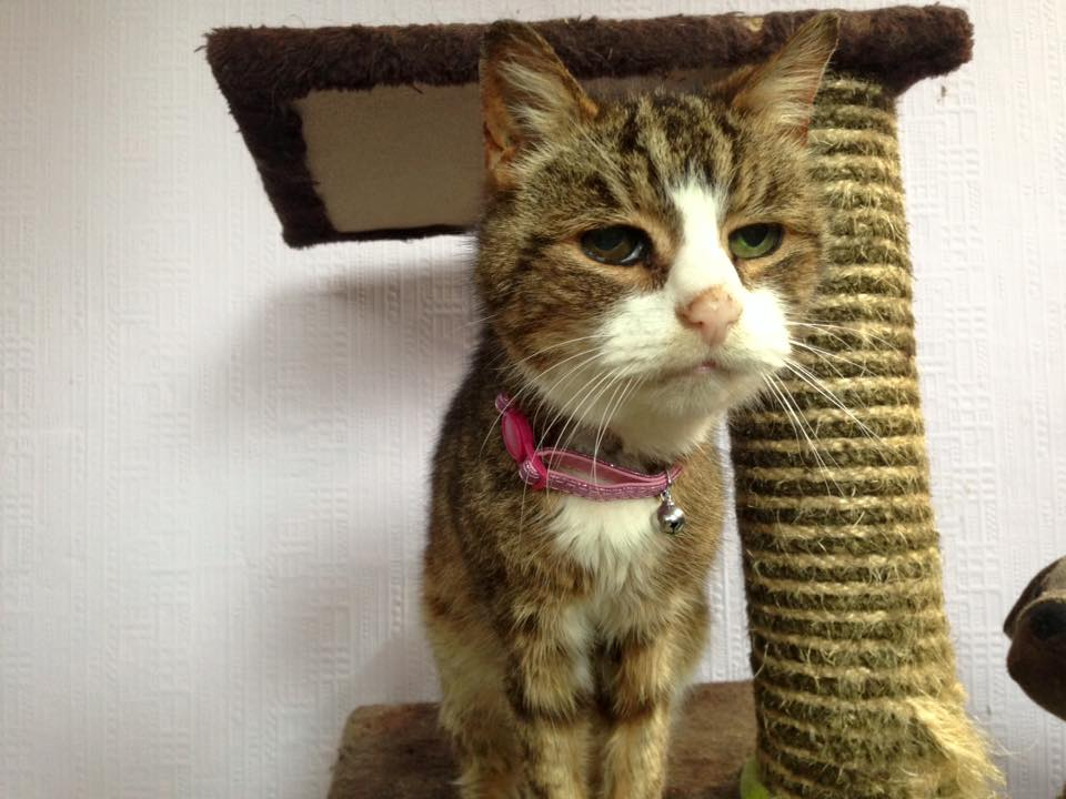 Image shows an elderly tabby cat with a pink collar, standing on a cat tree.