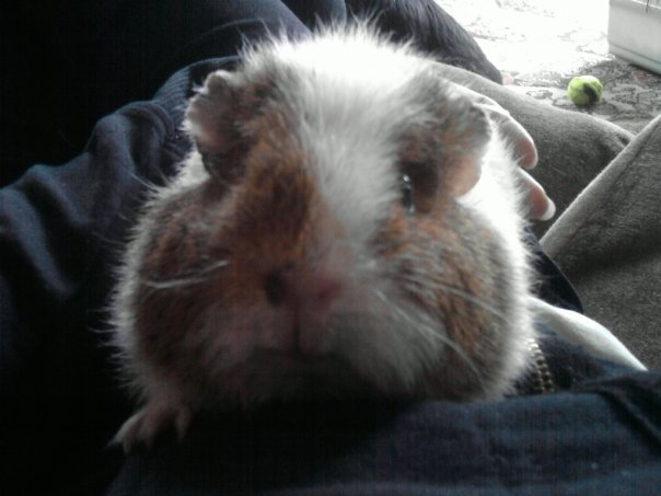 guinea-pigs-and-rabbits