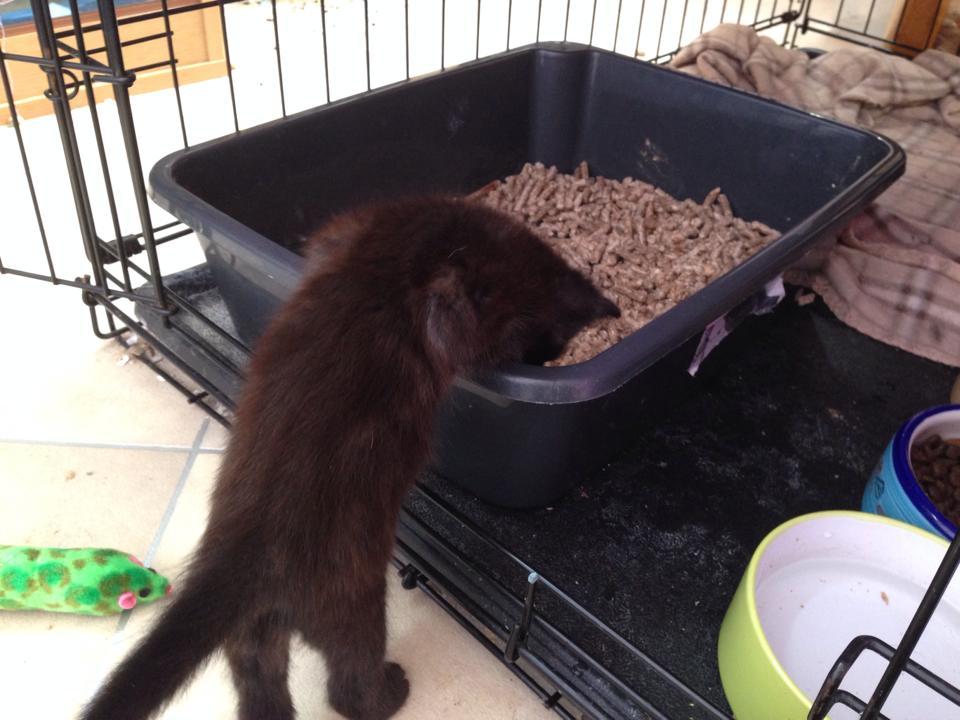 kitten-litter-box