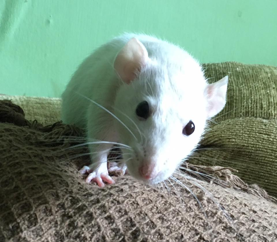 10 Things You Need To Know Before Owning Rats – The House of Animals
