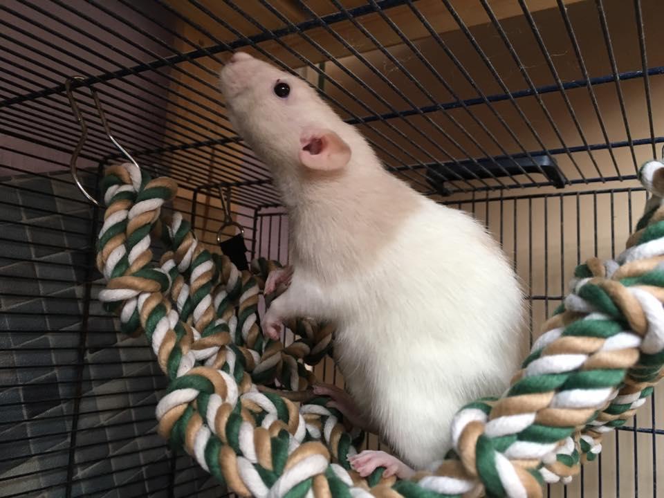 rat-rope