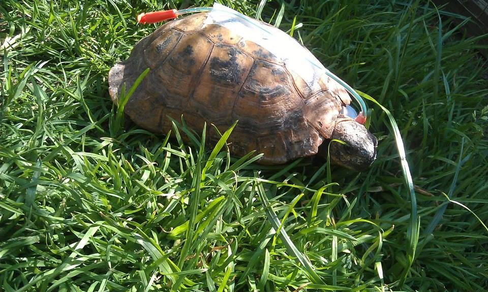 tortoise-feeding-tube