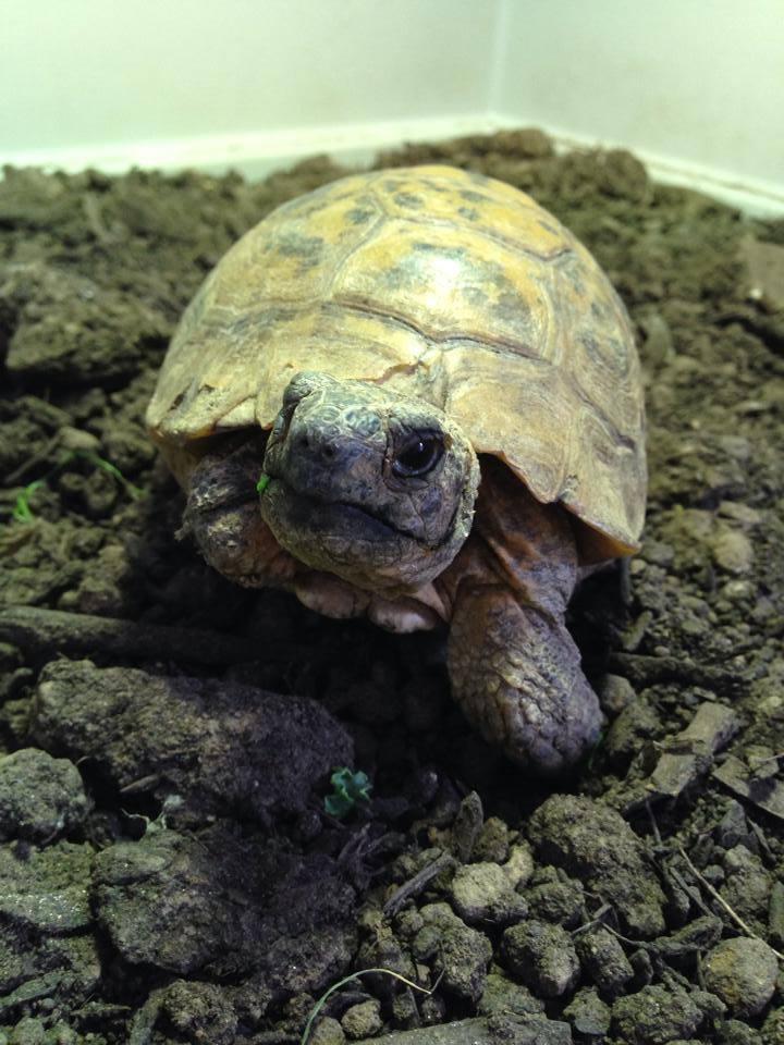 disabled tortoise