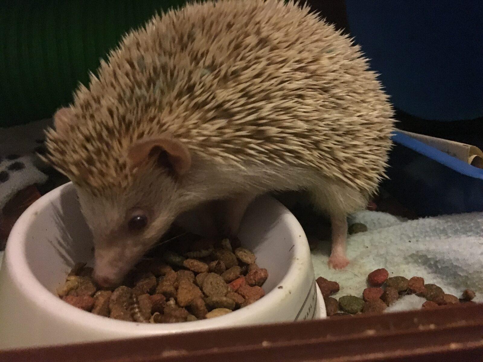 african-pygmy-hedgehog-diet