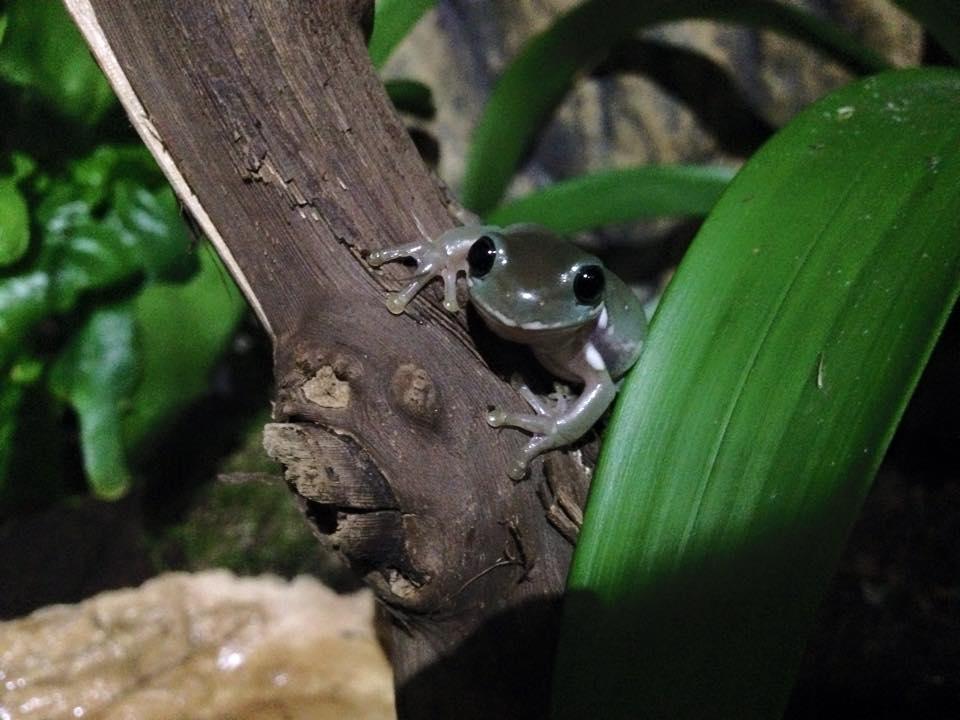 whites-tree-frog