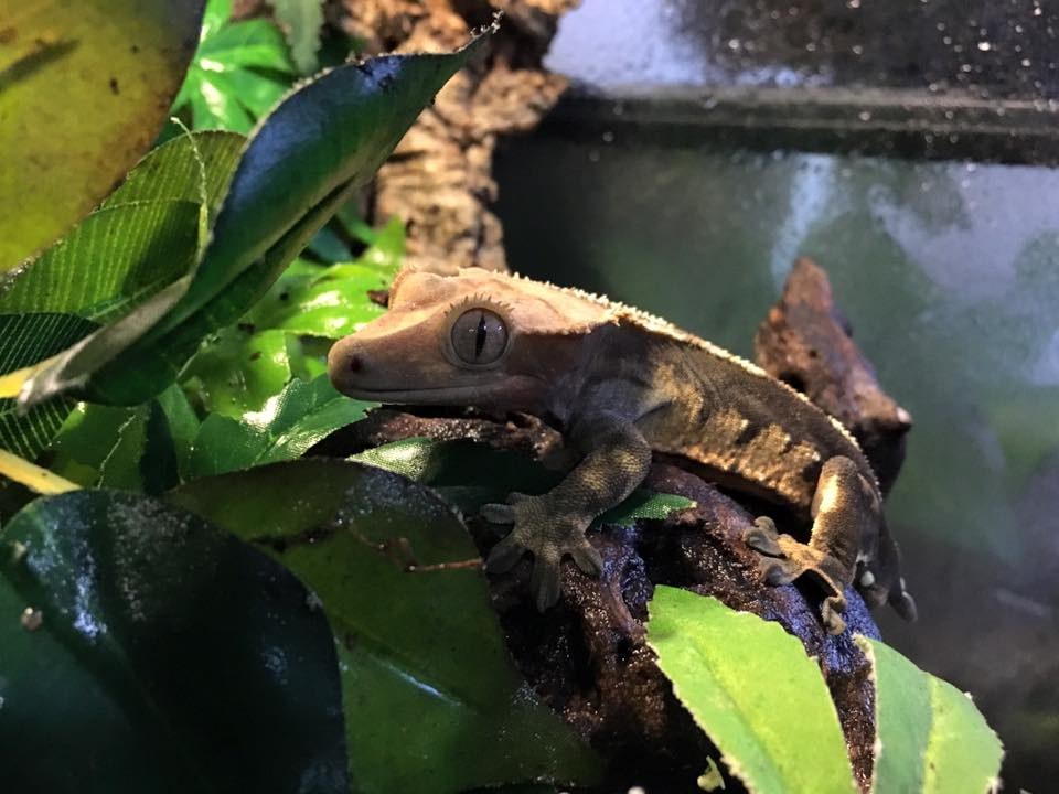 crested-gecko-cage