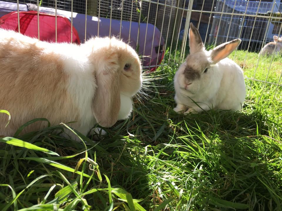 old-rabbits