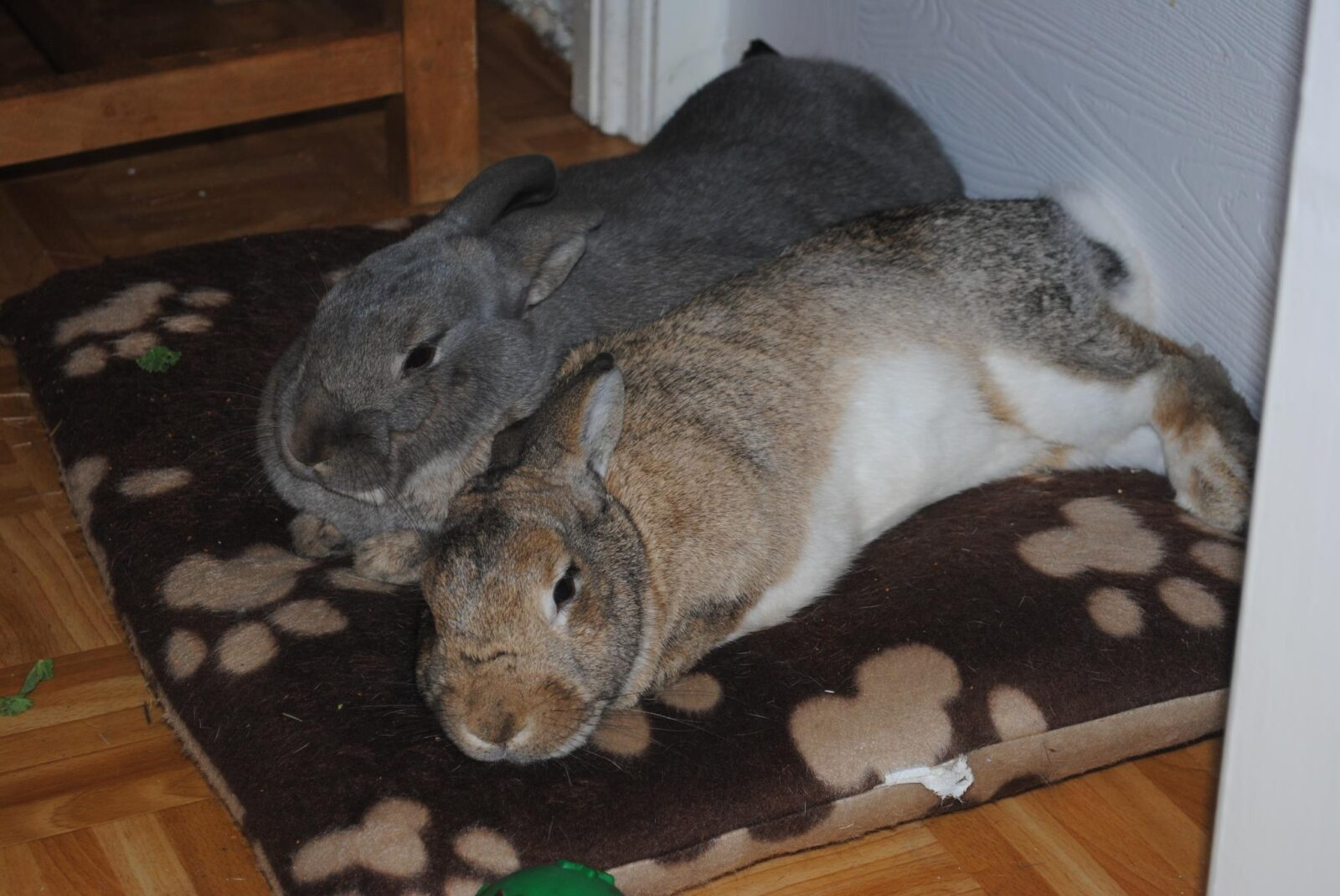 rabbits-need-to-be-indoors