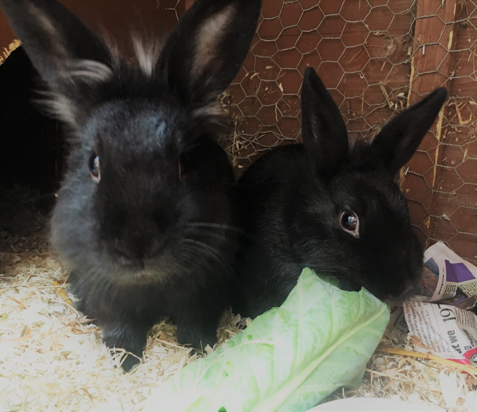 should-I-get-my-rabbit-a-friend