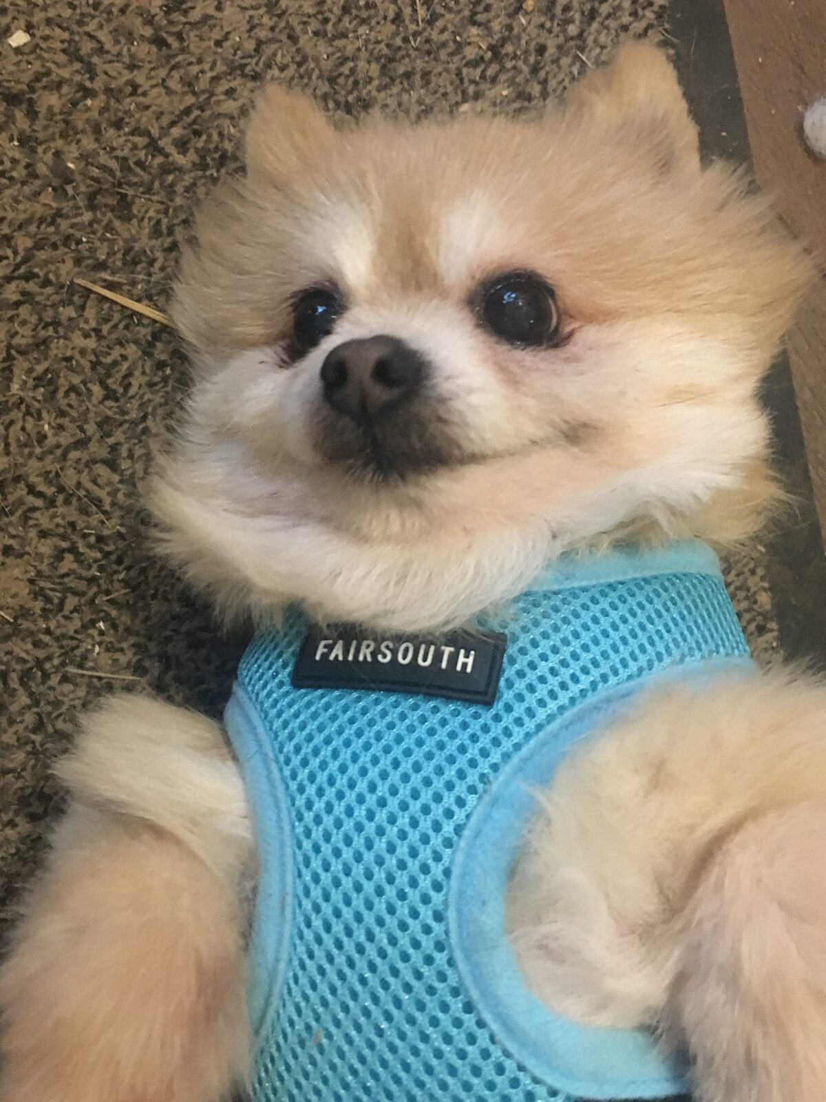 dog-collapsed-trachea-harness