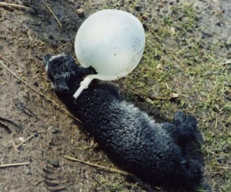 lamb-tangeld-in-balloon