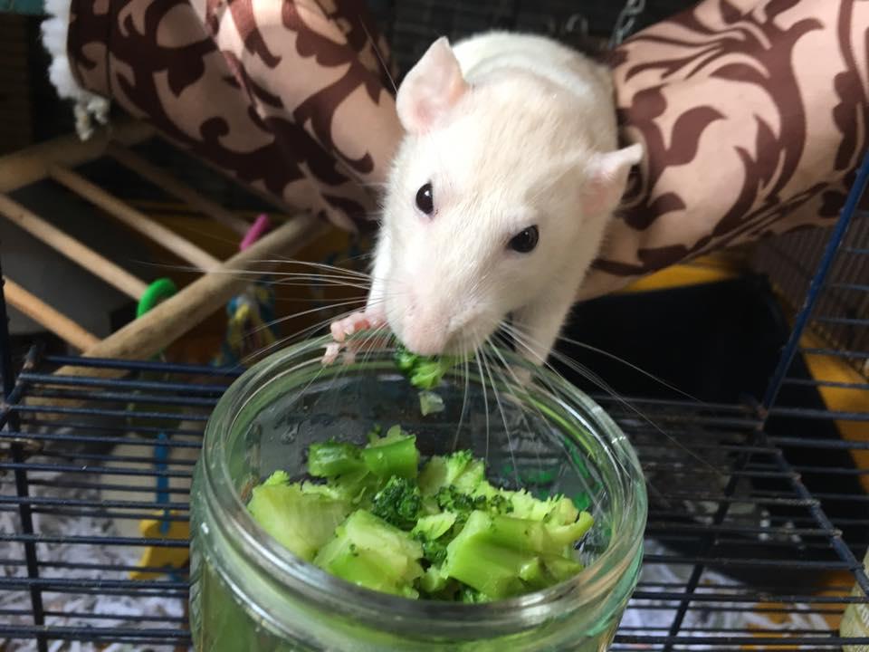 can-rats-eat-broccoli