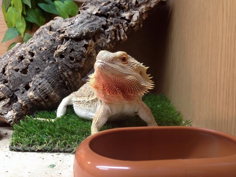bearded-dragon=pet