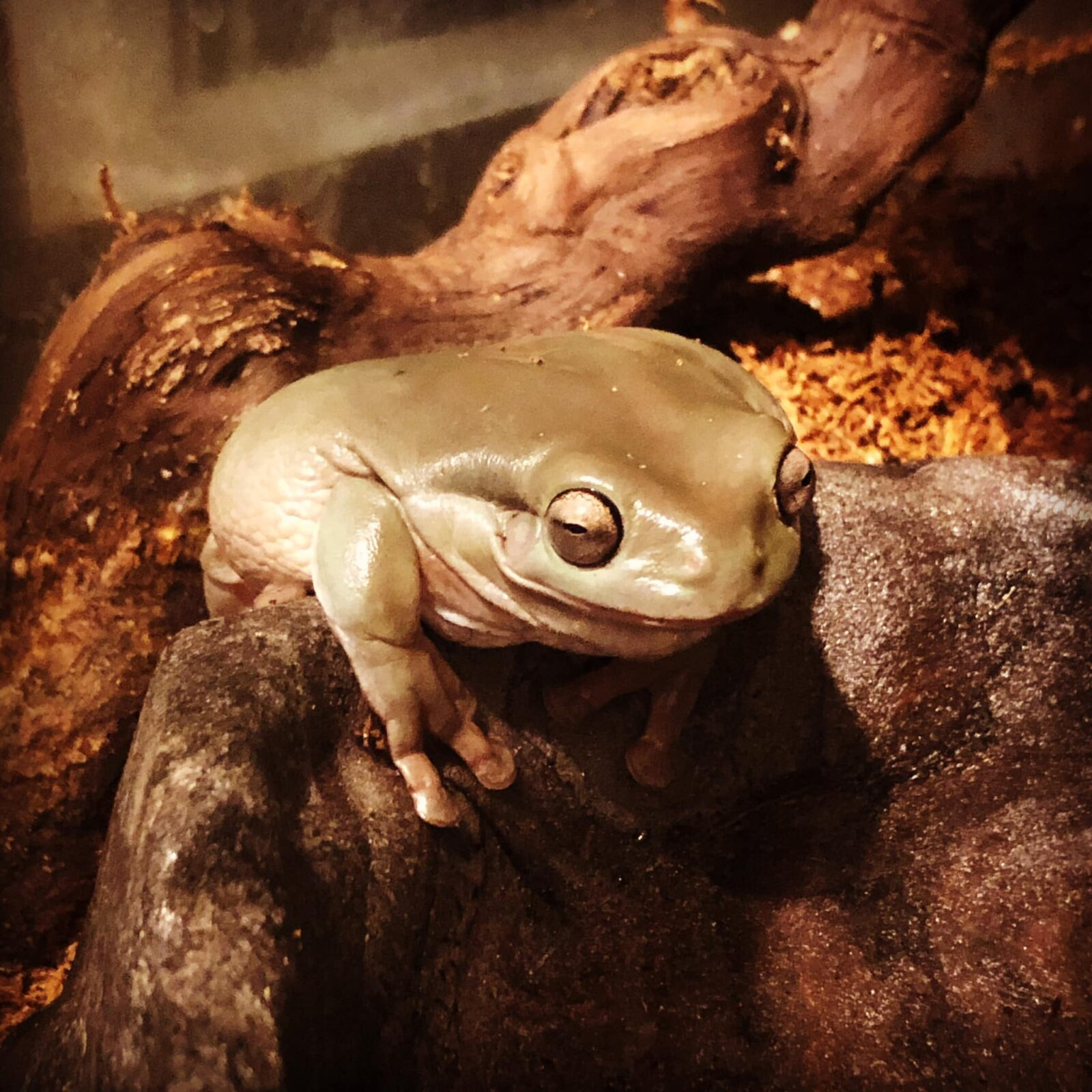 How To Set Up A White S Tree Frog Tank