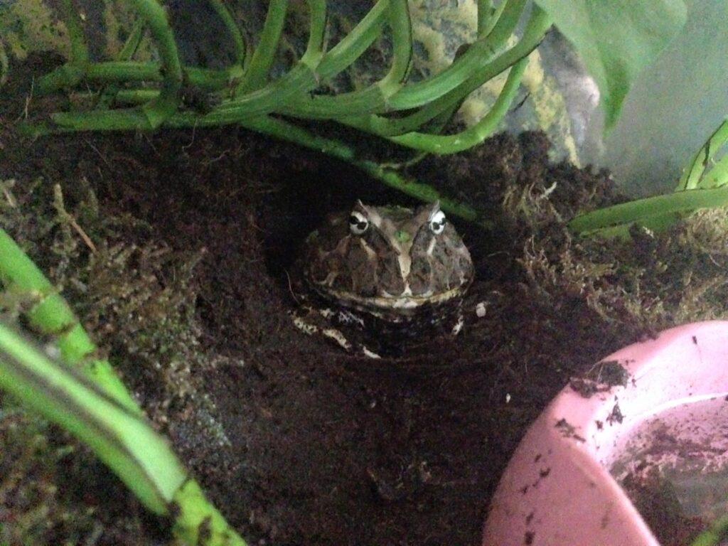 Pacman Frog Setup