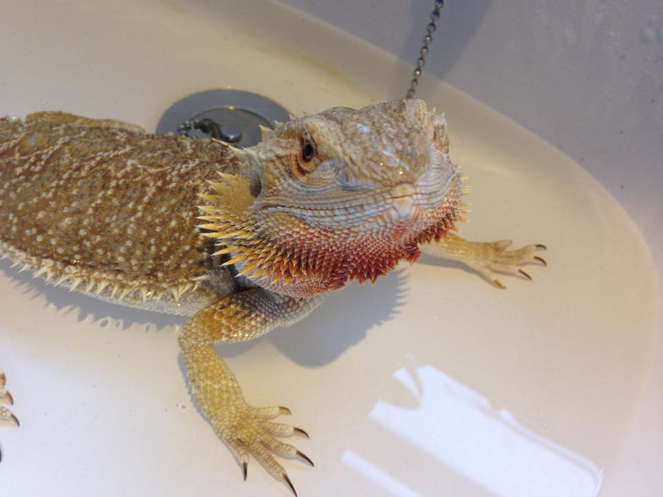 bearded dragon things you need to know
